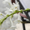 チュベローズ Polianthes tuberosa