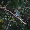 ヒメアオカワセミ(Small Blue Kingfisher)