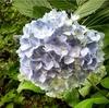 土曜日は紫陽花を見に行きましてん!