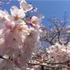 【お花見】4/4 代々木公園 桜の開花状況と混雑状況:花見便利グッズ [エアーソファ] (2017/4/4)