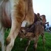 わたしと子牛の思い出話