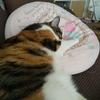 【愛猫日記】毎日アンヌさん#280