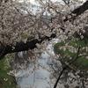 新鏡川堤・百十郎桜「お花見」