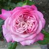 開花ラッシュ…1「パリス」
