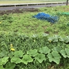 この時期はイネ科雑草がすごいですが、なかなか処理が追いつきません