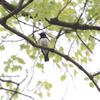 キビタキ・トラツグミ・オオルリ・クロツグミ・アリスイ・ノゴマ(大阪城野鳥探鳥 20200419 5:05-11:40)