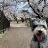 夙川公園にお花見行ってきたよ