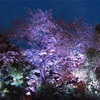 3903 夜桜レインボウ