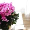花の鉢物を育てる時は・・独身女性の方へ・・
