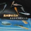 【長州夢めだか】 おまかせ30匹セット 成魚 Mサイズ
