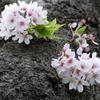 横浜市民、川崎市民なら広大な「県立 三ツ池公園」でゆったりと花見を楽しもう!