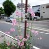 Googleで花の名前を調べて、お市の方のゆかりを訪ね、さまよう今日の徘徊