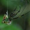 ジョロウグモの脱皮