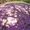 大地でもう一度咲く桜