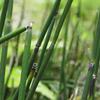 トクサ,木賊,Equisetum hyemale L. var. schleicheri Milde,