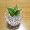 再生栽培スピンオフ①野菜以外を育ててみよう、8月9月。