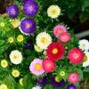 カラフル庭の小菊…