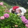 今が見ごろ!茂原の服部農園で紫陽花を見てきました🌼✨