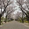 桜ってすごい日本っぽい