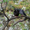 PowerShot SX720 HSで撮った、鳩と桜の情景