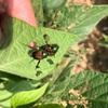 コガネムシが大発生! 今回購入した農薬は効果がありました。