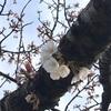 【お花見】代々木公園はもう開花!? (2020/3/13)