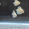 稚魚のうちにしておくべきフードトレーニング