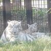 動物ニュース『こどもの国ホワイトライオン 名前は「セラム」』他