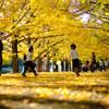 黄色の昭和記念公園を廻る