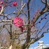 熊本城の梅の花ほころぶ