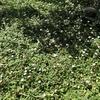 雑草対策にリッピア(ひめいわだれそう)と人工芝