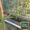 森バナ農園2021⑪ 『すくすく育ってます❗』