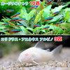 (熱帯魚)カージナルテトラ(ワイルド)(10匹) + コリドラス・アエネウス アルビノ(3匹) 北海道・九州・沖縄航空便要保温