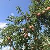 林檎の季節