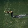 鵜が大物の魚を捕らえる