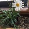 寄せ植えの花・マーガレット
