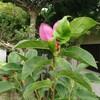 どうしたの? 木蓮が暑い中、咲いています