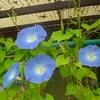 Heavenly blue(ヘブンリーブルー)