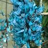 ヒスイカズラ。空と水の色を持つ植物