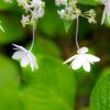 雨の雫と紫陽花の 一つ一つの花の命よ
