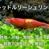 レッドルリーシュリンプ繁殖・混泳・飼育方法!飼育も簡単おすすめ!