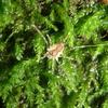 岩国市の山地で採集したトゲザトウムシ
