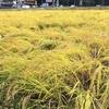 稲刈り、天日干し
