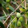 オリーブの葉には、オリーブオイル以上の効果があるって???
