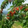 【サクランボ狩り】北海道で一番広い果樹園へ行ってきました|さくらんぼ山観光農園