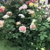 第20回国際バラとガーデニングショウ2018 トレンドのバラ達