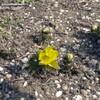 福寿草が咲き始めた