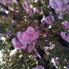 八重桜そして春の猫