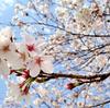 桜の真下でお花見を、桜は間近でお花見を。