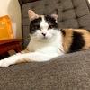 異食症持ちで野良猫とケンカしていた没っちゃん【スコティッシュフォールド♀】も今は新しい飼主の元でぬくぬくと先輩猫と2匹で平和に暮らしています。
